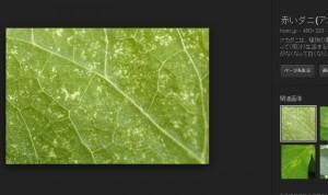 アカダニ被害の葉っぱ